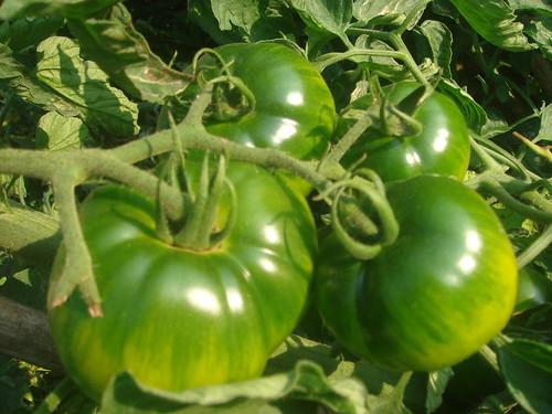 黑柿蕃茄1-3