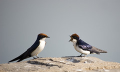 Free Stock Photo - Wire-Tailed Swallows Arguing