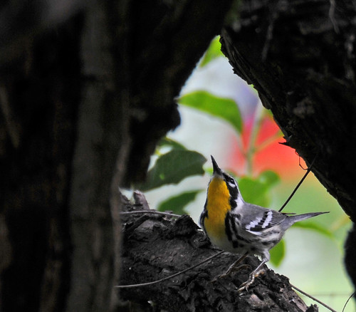Yellow-throated warbler in Hope Gardens