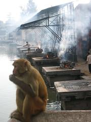 Mourning Monkey