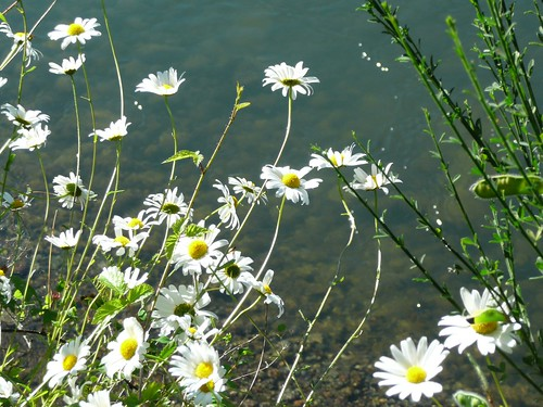 daisys by a lazy river
