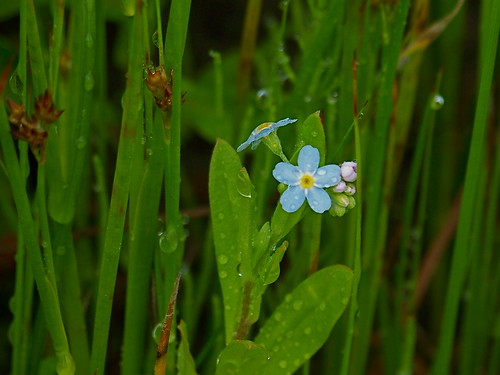 True forget-me-not, (Myosotis scorpioides)