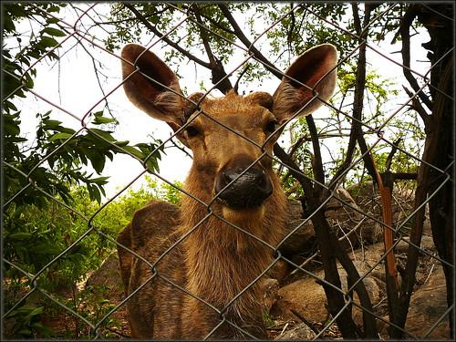 Deer. Shot at Mrugavani Deer Park.