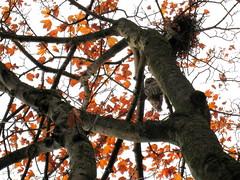 20081102_PendrellBidwell_Owl_Cutler_9902