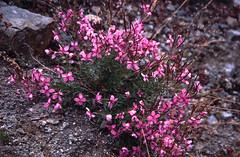 Alpine plant