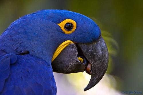 Hyacinth Macaw Cracking Brazil Nut by SARhounds