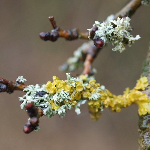 lichen on a branch by michiel thomas