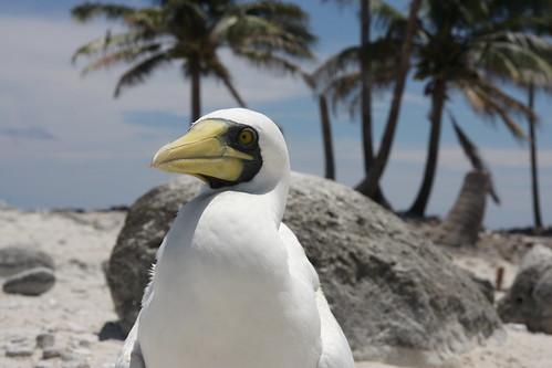 Aves en la Isla Clipperton