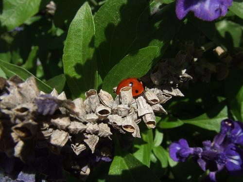 Ladybug grey