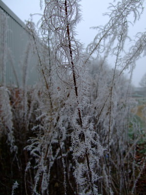 frosted empty Fireweed seed pods