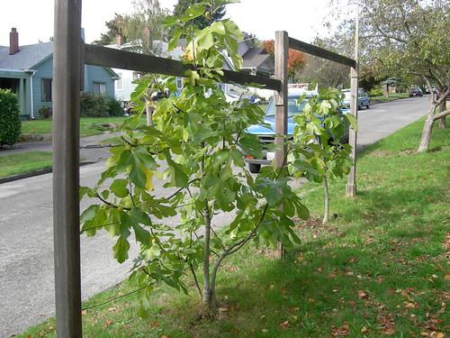 Street figs on espalier