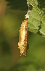 Golden pupa