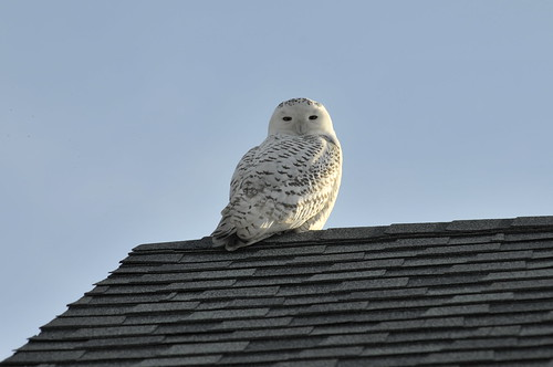 The Owl on the Roof