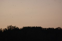 Purple Martins Coming to Roost by Toni Kelly