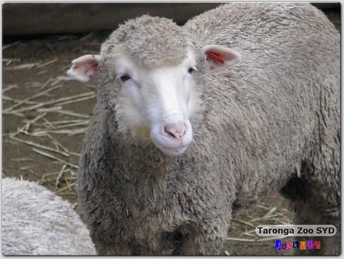 Taronga Zoo - Sheep