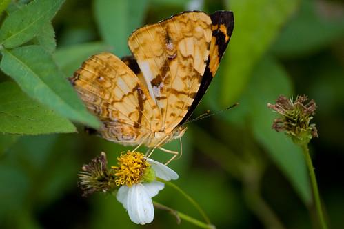 Symbrenthia lilaea