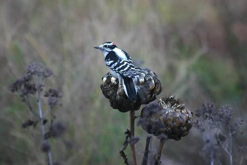 woodpecker on november artichoke