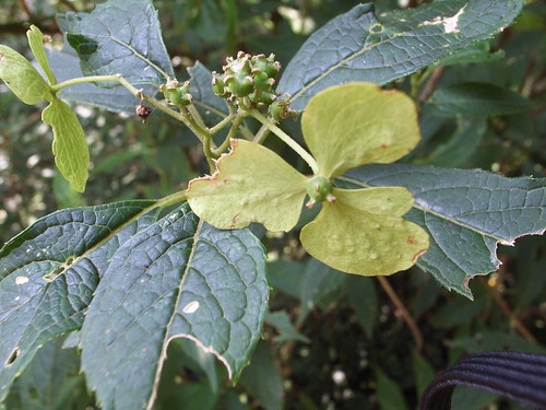 狹瓣八仙 Hydrangea angustipetala Hay.