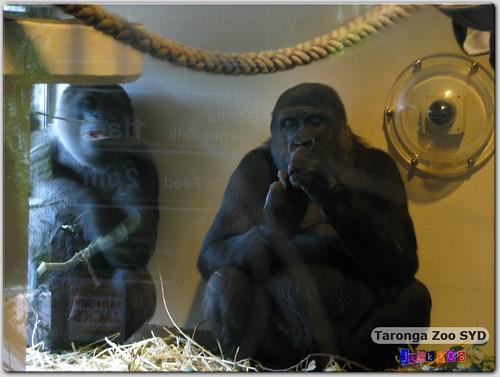 Taronga Zoo - Gorillas