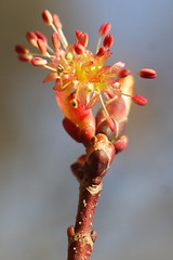 Red Maple Blossom - a mixture of girl and boy parts - but mostly girl parts
