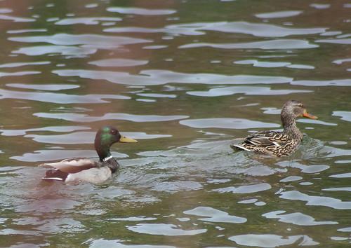 mallard ducks (male female)