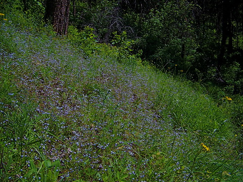 A hillside of Blue-eyed Marys