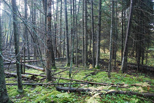 The photo doesnt really do justice to this site.  This is an unmanaged pocket of balsam fir near the outdoor classroom site.  DNR forester John Lavasseur often takes groups out to this site to learn about forest growth and change.