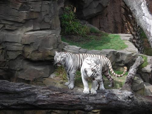 Gorgeous white tigers