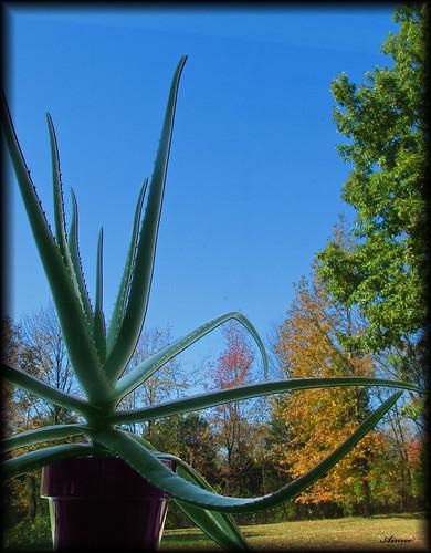 Living Aloe