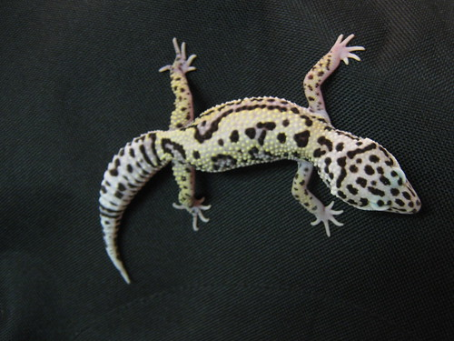 Mack Snow Het Tremper Albino (male)