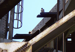 Peregrines on Calumet RR Bridge