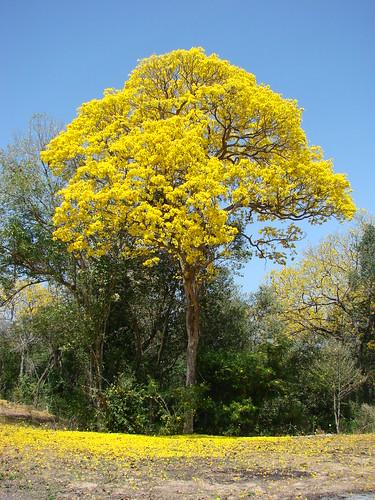 Araguaney floreado (Arbol emblemático nacional de Venezuela) (Tabebuia chrysantha)