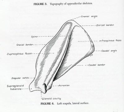 canine scapula