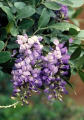 Texas Mountain Laurel, Science-Engineering Lib...