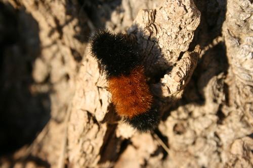 Wooly Bear Caterpillar (Isabella Moth)