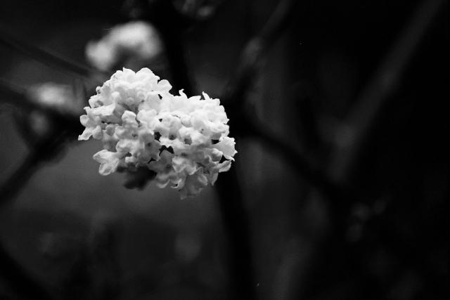 White Viburnum in Monochrome
