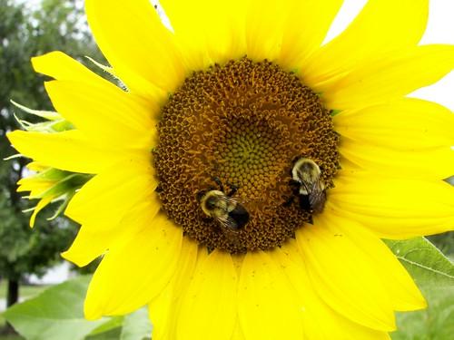 beesonsunflower