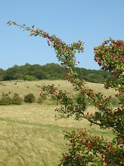 Autumn berries in the Chilterns