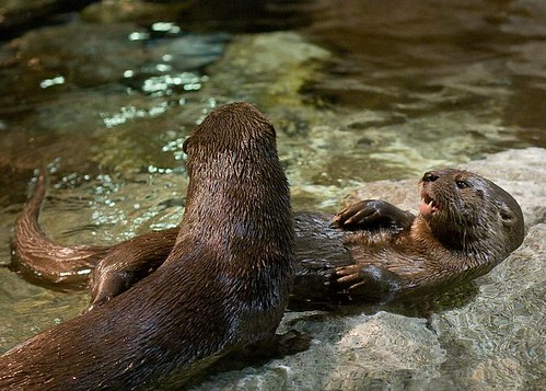 Otters by you.