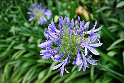 Una flor lila