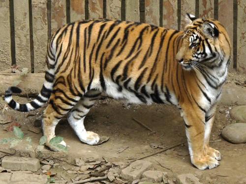 Orphan Tiger
