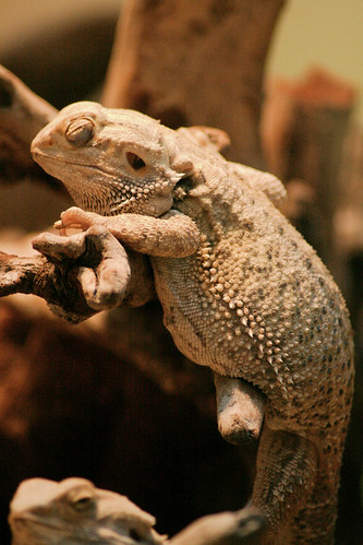 Inland bearded dragon at the National Zoo, much more improved than the photo  I got of him (albeit awake) in 2005.