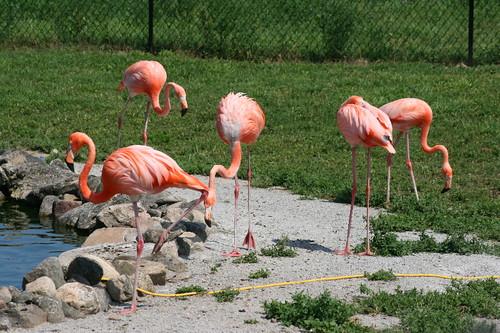 Caribbean Flamingos (Phoenicopterus ruber)
