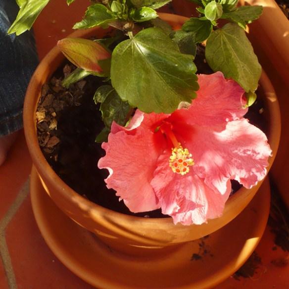 #50 - Hibiscus rosa-sinensis