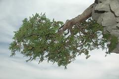 Natural Bonsia