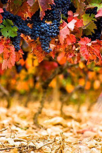 Fall Vineyards by Ryan Opaz