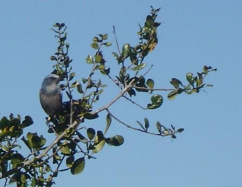 Sentinel Scrub Jay