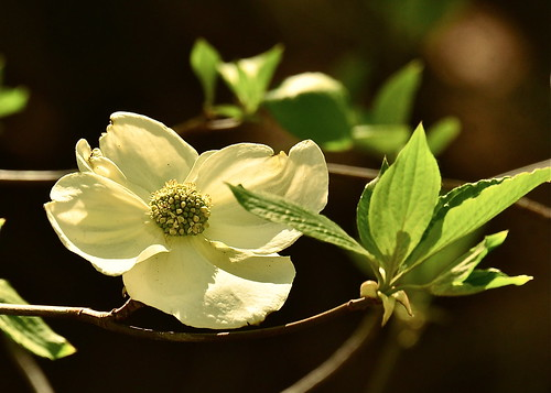 Crestline Dogwood by Shirley Buxton