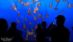 Montery Bay Aquarium Sea Nettles Jellyfish