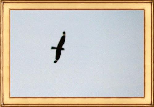 Aimophila-Nighthawk